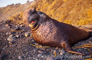 Northern elephant seal, Mirounga angustirostris, Gorda, Big Sur, California