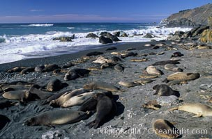Northern elephant seals, Mirounga angustirostris, Gorda, copyright Phillip Colla Natural History Photography, www.oceanlight.com, image #02519, all rights reserved worldwide.