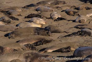 Northern elephant seal colony, hauled out mothers and pups in January, Mirounga angustirostris, Piedras Blancas, San Simeon, California