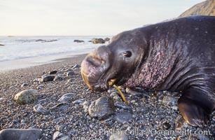 Northern elephant seal, adult male with large proboscis, Mirounga angustirostris, Gorda, Big Sur, California