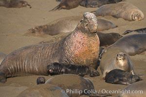 A bull elephant seal rears up on his foreflippers and bellows, warning nearby males not to enter his beach territory.  He is surrounded by smaller females (and several black pups) which comprise his harem.  Sandy beach rookery, winter, Central California, Mirounga angustirostris, Piedras Blancas, San Simeon