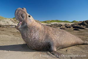 Male elephant seal rears up on its foreflippers and bellows to intimidate other males and to survey its beach territory.  Winter, Central California. Piedras Blancas, San Simeon, California, USA, Mirounga angustirostris, natural history stock photograph, photo id 15425