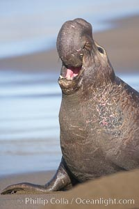 Bull elephant seal, adult male, bellowing. Its huge proboscis is characteristic of male elephant seals. Scarring from combat with other males.  Central California, Mirounga angustirostris, Piedras Blancas, San Simeon