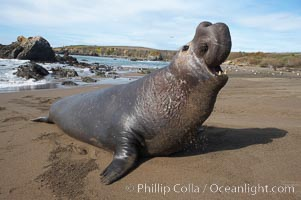 Male elephant seal rears up on its foreflippers and bellows to intimidate other males and to survey its beach territory.  Winter, Central California. Piedras Blancas, San Simeon, California, USA, Mirounga angustirostris, natural history stock photograph, photo id 15489
