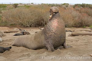 Male elephant seal rears up on its foreflippers and bellows to intimidate other males and to survey its beach territory.  Winter, Central California, Mirounga angustirostris, Piedras Blancas, San Simeon