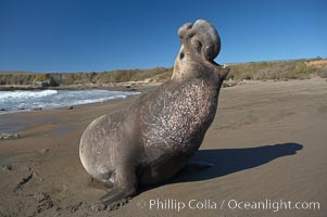 Male elephant seal rears up on its foreflippers and bellows to intimidate other males and to survey its beach territory.  Winter, Central California., Mirounga angustirostris,  Copyright Phillip Colla, image #15521, all rights reserved worldwide.