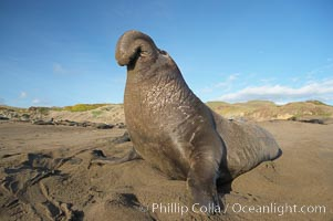 Male elephant seal rears up on its foreflippers and bellows to intimidate other males and to survey its beach territory.  Winter, Central California. Piedras Blancas, San Simeon, California, USA, Mirounga angustirostris, natural history stock photograph, photo id 15522
