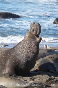 A bull elephant seal rears up on his foreflippers and bellows, warning nearby males not to enter his beach territory.  This old male shows scarring on his chest and proboscis from many winters fighting other males for territory and rights to a harem of females.  Sandy beach rookery, winter, Central California, Mirounga angustirostris, Piedras Blancas, San Simeon
