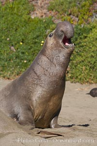 A subadult male elephant seal rears up on his foreflippers and bellows.  Sandy beach rookery, winter, Central California, Mirounga angustirostris, Piedras Blancas, San Simeon