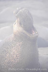 Partially obscured by coastal morning fog, this male elephant seal rears up on its foreflippers and bellows to intimidate other males and to survey its beach territory.  Winter, Central California, Mirounga angustirostris, Piedras Blancas, San Simeon