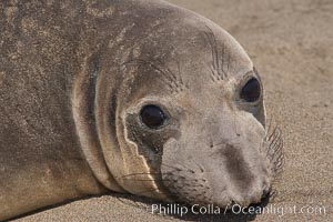 Female elephant seal, hauled out on the sandy beach rookery, will give birth to a pup then mate, and return to the ocean 27 days after giving birth.  Winter, Central California. Piedras Blancas, San Simeon, California, USA, Mirounga angustirostris, natural history stock photograph, photo id 15539