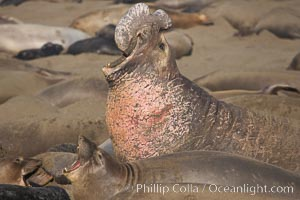 Northern elephant seal, adult male, scarring on chest from territorial conflict with other males during mating season.  Sandy beach rookery, winter, Central California, Mirounga angustirostris, Piedras Blancas, San Simeon