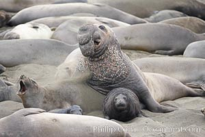 A bull elephant seal approaches a female before forceably mating (copulating) with her, in spite of nearly smashing the female's pup in the process, Mirounga angustirostris, Piedras Blancas, San Simeon, California