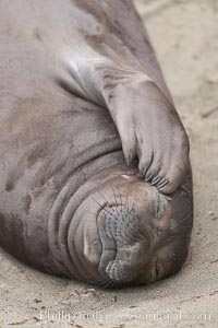 "Elephant seal pup scratches its face with its foreflipper.  Note the five ""fingernails"" on the flipper.  The pup will nurse for 27 days, when the mother stops lactating and returns to the sea.  The pup will stay on the beach 12 more weeks until it becomes hungry and begins to forage for food, Mirounga angustirostris, Piedras Blancas, San Simeon, California"