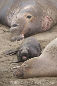 Bull male elephant seal, mother seal and her pup.  The pup will nurse for 27 days, when the mother stops lactating and returns to the sea.  The pup will stay on the beach 12 more weeks until it becomes hungry and begins to forage for food, Mirounga angustirostris, Piedras Blancas, San Simeon, California