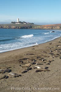 Elephant seals crowd a sand beach at the Piedras Blancas rookery near San Simeon.  The Piedras Blancas lighthouse is visible in upper left