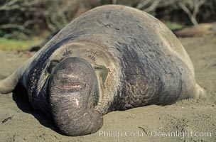 Northern elephant seal, adult male with large proboscis, Mirounga angustirostris, Piedras Blancas, San Simeon, California