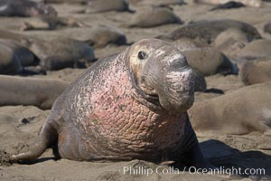 This bull elephant seal, an old adult male, shows extreme scarring on his chest and proboscis from many winters fighting other males for territory and rights to a harem of females.  Sandy beach rookery, winter, Central California, Mirounga angustirostris, Piedras Blancas, San Simeon