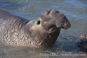 Adult male elephant seal in the surf, displaying the huge proboscis that is characteristic of this species.  Winter, Central California, Mirounga angustirostris, Piedras Blancas, San Simeon