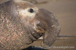 Huge proboscis (nose) of an adult male elephant seal.  Central California, Mirounga angustirostris, Piedras Blancas, San Simeon
