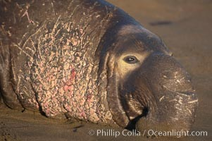 Bull elephant seal lies on the sand.  This old male shows the huge proboscis characteristic of this species, as well as considerable scarring on his chest and proboscis from many winters fighting other males for territory and rights to a harem of females.  Sandy beach rookery, winter, Central California, Mirounga angustirostris, Piedras Blancas, San Simeon