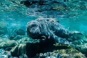 Juvenile northern elephant seal warily watches the photographer, underwater, Mirounga angustirostris, Guadalupe Island (Isla Guadalupe)