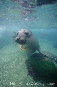 Northern elephant seal, San Benito Islands, Mirounga angustirostris, San Benito Islands (Islas San Benito)
