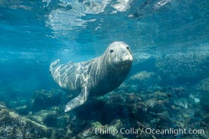 A northern elephant seal hovers underwater over a rocky bottom  along the coastline of Guadalupe Island, Mirounga angustirostris, Guadalupe Island (Isla Guadalupe)