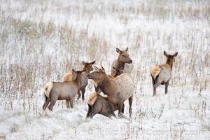 Female and young elk in early autumn snowfall, Cervus canadensis, Yellowstone National Park, Wyoming