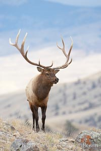 Elk, bull elk, adult male elk with large set of antlers.  By September, this bull elk's antlers have reached their full size and the velvet has fallen off. This bull elk has sparred with other bulls for access to herds of females in estrous and ready to mate, Cervus canadensis, Mammoth Hot Springs, Yellowstone National Park, Wyoming
