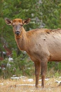 Juvenile elk, autumn, Cervus canadensis, Yellowstone National Park, Wyoming