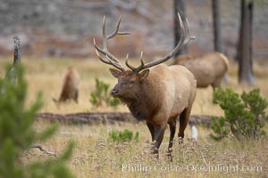 Elk, bull elk, adult male elk with large set of antlers.  By September, this bull elk's antlers have reached their full size and the velvet has fallen off. This bull elk has sparred with other bulls for access to herds of females in estrous and ready to mate, Cervus canadensis, Yellowstone National Park, Wyoming