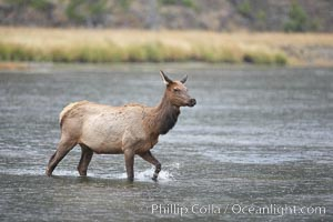 Elk, Cervus canadensis, Madison River, Yellowstone National Park, Wyoming