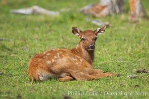 Elk, juvenile, Cervus elaphus