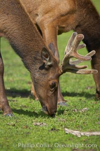 Elk, Cervus elaphus