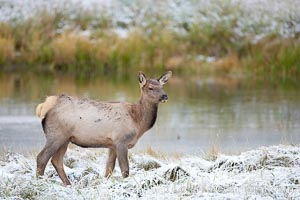 Female elk along the Madison River during an early fall snow, Cervus canadensis, Yellowstone National Park, Wyoming