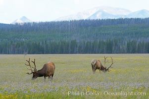 Elk grazing, Gibbon Meadow. Gibbon Meadows, Yellowstone National Park, Wyoming, USA, Cervus canadensis, natural history stock photograph, photo id 13194