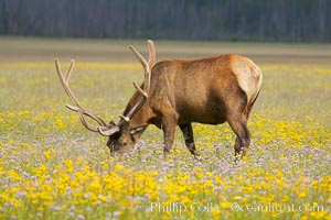 Elk graze and rest among wildflowers blooming in the Gibbon Meadow, summer, Cervus canadensis, Gibbon Meadows, Yellowstone National Park, Wyoming