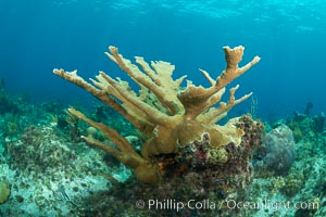 Elkhorn coral, Grand Caymand Island