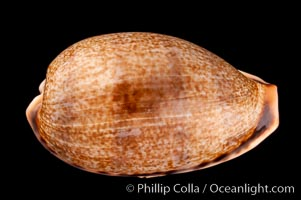 Elongate Caurica Cowrie, Cypraea caurica elongata