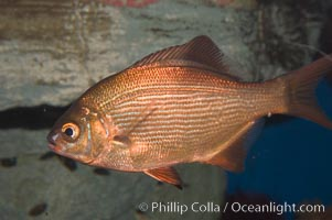 Striped sea perch, Embiotoca lateralis