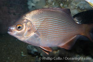 Striped surfperch, Embiotoca lateralis