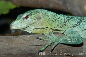 Emerald tree monitor lizard.  Arboreal, dwelling in trees in New Guinea jungles where it hunts birds and small mammals., Varanus prasinus prasinus, natural history stock photograph, photo id 12602