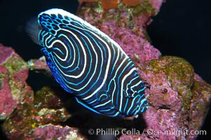 Emperor angelfish, juvenile coloration., Pomacanthus imperator, natural history stock photograph, photo id 13744