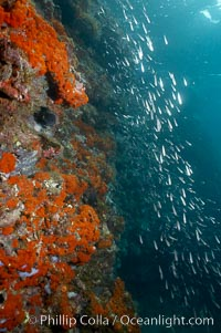 Encrusting sponge and juvenile fish, Cousins