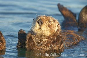 A sea otter resting, holding its paws out of the water to keep them warm and conserve body heat as it floats in cold ocean water. Elkhorn Slough National Estuarine Research Reserve, Moss Landing, California, USA, Enhydra lutris, natural history stock photograph, photo id 21607