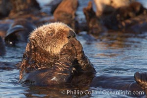 A sea otter, resting on its back, grooms the fur on its head.  A sea otter depends on its fur to keep it warm and afloat, and must groom its fur frequently, Enhydra lutris, Elkhorn Slough National Estuarine Research Reserve, Moss Landing, California