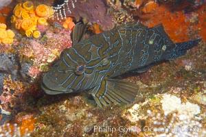 Giant hawkfish, Epinephelus, Cousins