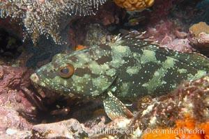Unidentified fish, likely Epinephelus genus, Epinephelus, Cousins