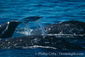 Gray whale. Monterey, California, USA, Eschrichtius robustus, natural history stock photograph, photo id 01178
